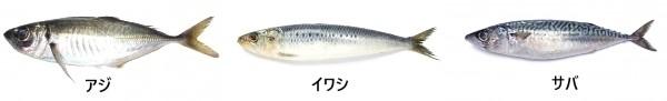 サビキ釣りで釣れる魚